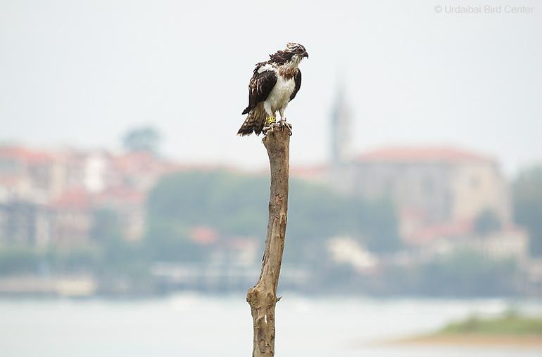 Aguila pescadora en Urdaibai