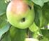 control de la carpocapsa o gusano del manzano