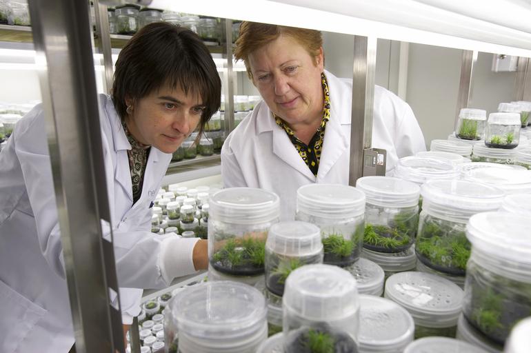Investigaciones sobre la propagación de pino mediante embriogénesis somática