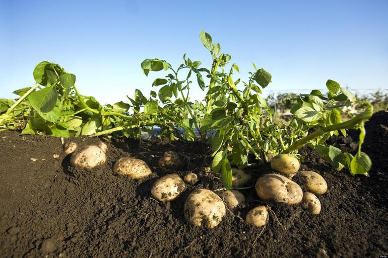 Proyecto de investigación sobre variedades de patata que mejor se adaptan a las condiciones previstas de cambio climático